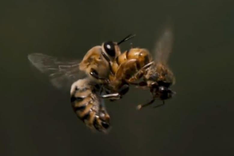 11. Медоносные пчелы животные, спаривание, удивительное рядом