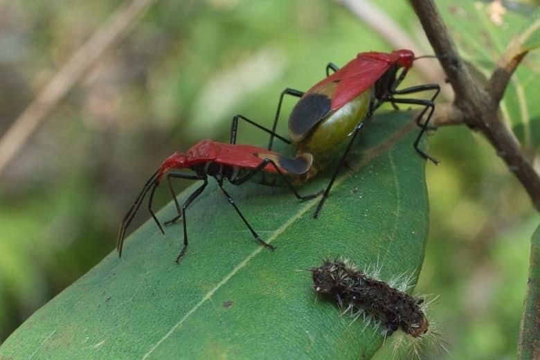 6. Жуки Serinethinae животные, спаривание, удивительное рядом