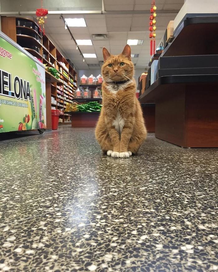 Вот уже 9 лет он работает в этом магазине животные, кот, магазин, работа