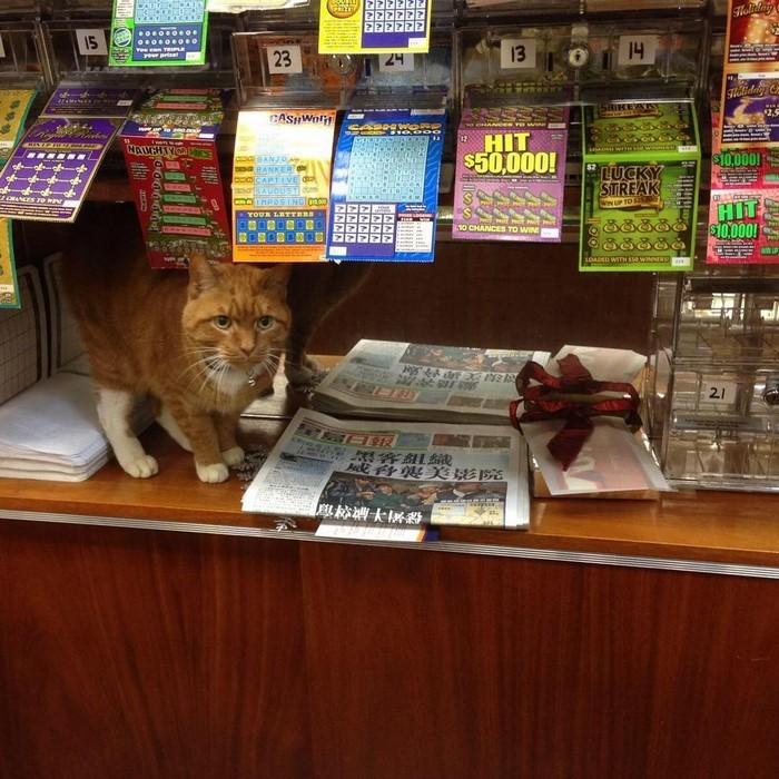 """Кот сидит у входа и приветствует покупателей звучным """"Мяу!"""" животные, кот, магазин, работа"""