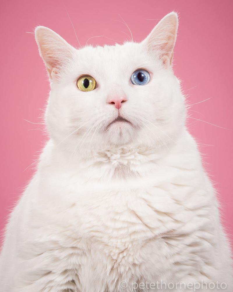 Картинки толстых котов