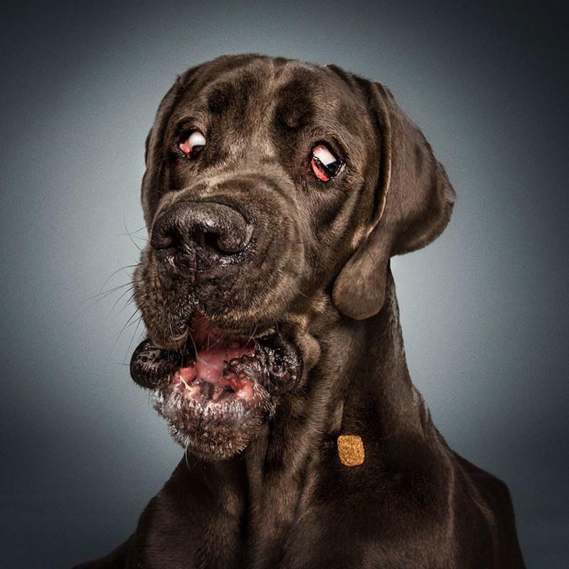 Немецкий фотограф снимает удивительно смешные выражения морд собак, пытающихся поймать угощение животные, собаки, юмор