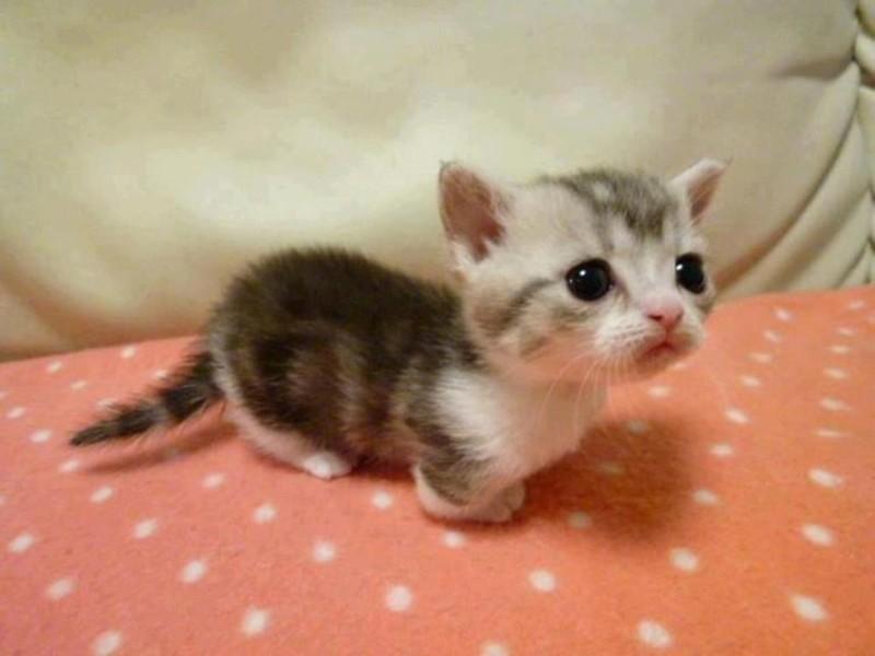 21 причина, почему кошки породы манчкин слишком прекрасны для этого мира