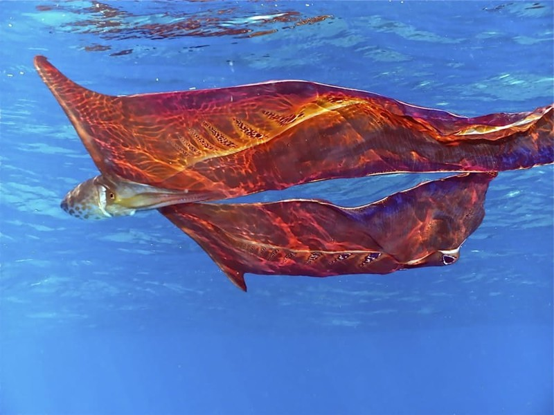 4.  Осьминог-одеяло (Blanket octopus) или фиолетовый тремоктопус (Tremoctopus violaceus) странные создания, творения природы, удивительное рядом