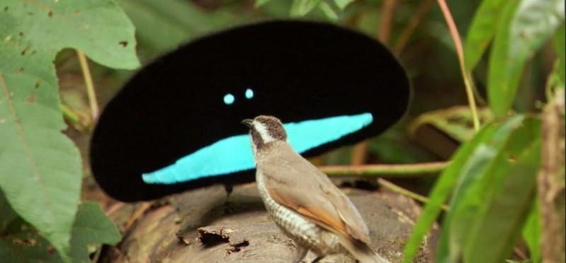 2. Чудная райская птица странные создания, творения природы, удивительное рядом