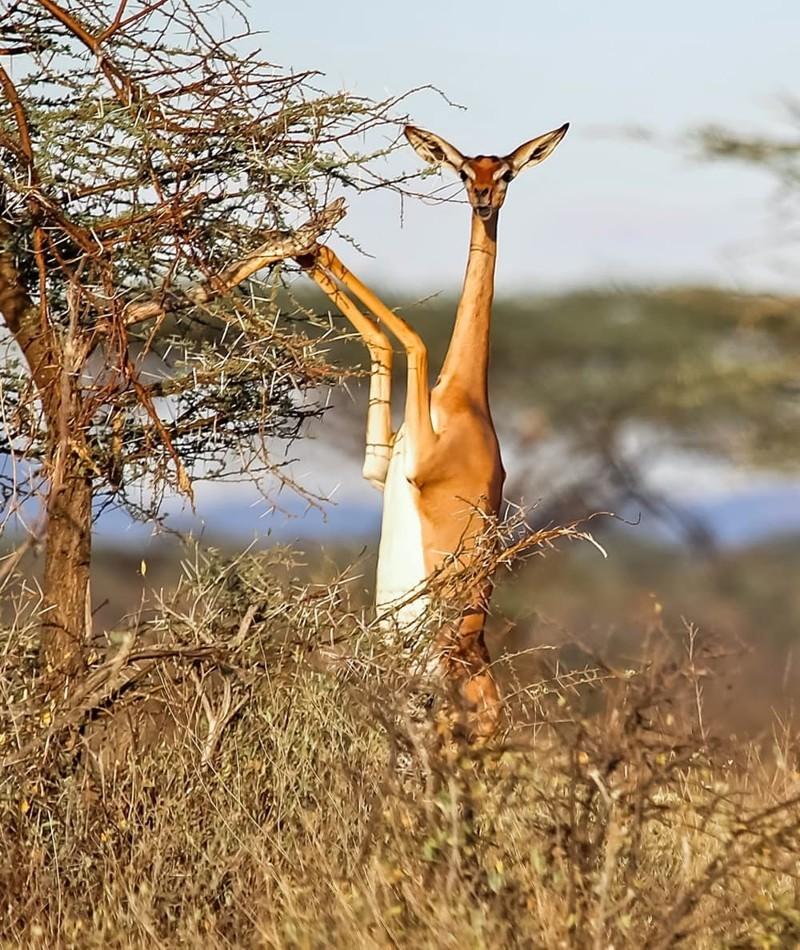 11. Геренук - жирафовая газель странные создания, творения природы, удивительное рядом