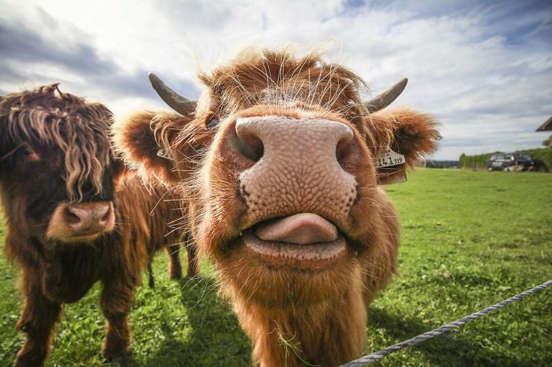 Смешные картинки, прикольные картинки коровы картинки