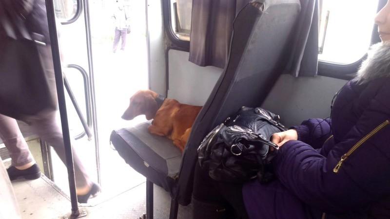 Сеня, у того, в желтой куртке нет билета! видео, животные, кто главный, прикол, хозяин