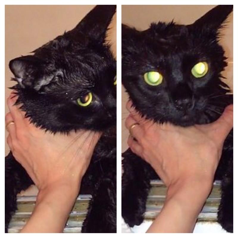 И так как блестки были везде, Бейрон устроила Сэлему ванну. животные, коты, юмор