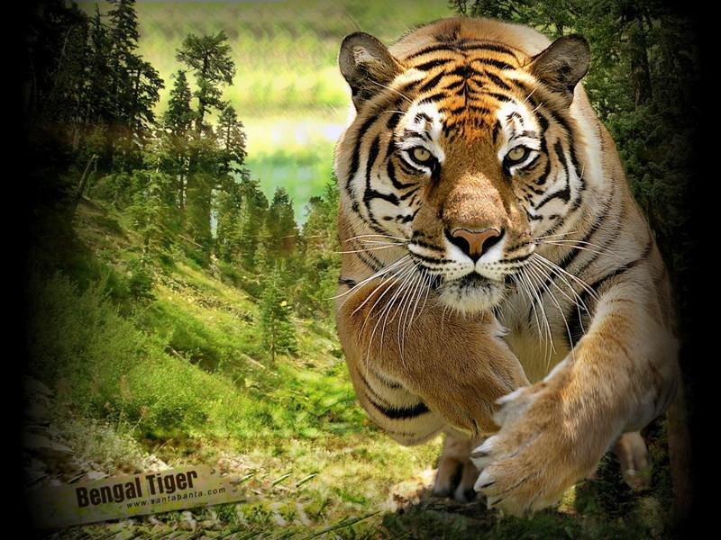 Интересные факты о тиграх животные, факты