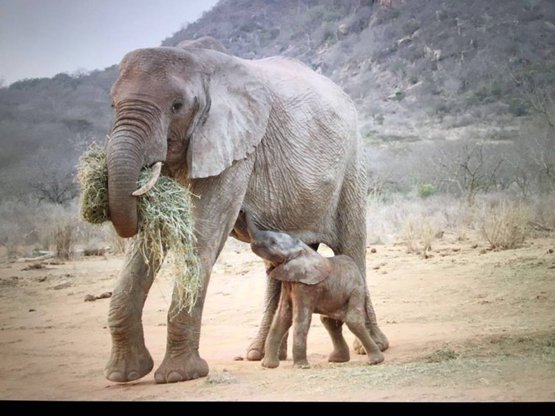 Повзрослевшая слониха-сирота вернулась к своим спасателям с малышом животные, слоны, факты
