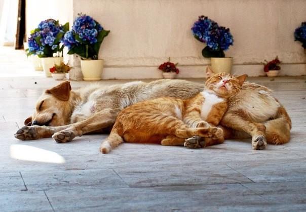 Фото котов, которые думают, что собака — это подушка животные, коты, факты