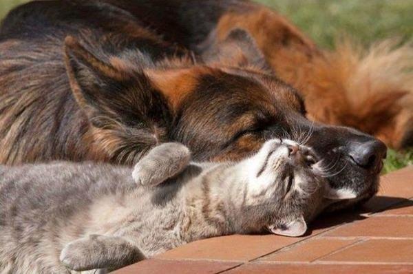 Живут как кошка с собакой  животные, коты, юмор