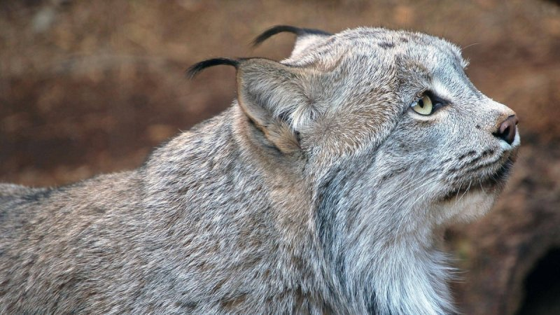 Рысь — красивое животное  животные, природа, рысь