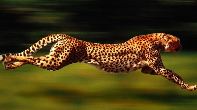 Из жизни гепардов африка, гепард, животные, коты, кошки, факты