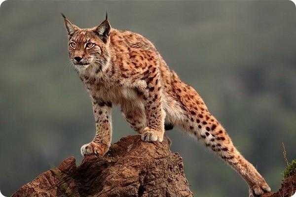 5.  животные, природа, рысь