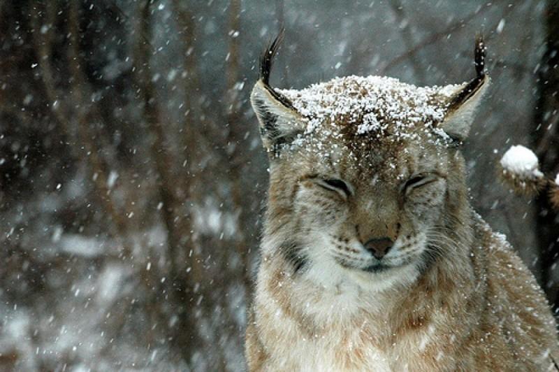 14.  животные, природа, рысь