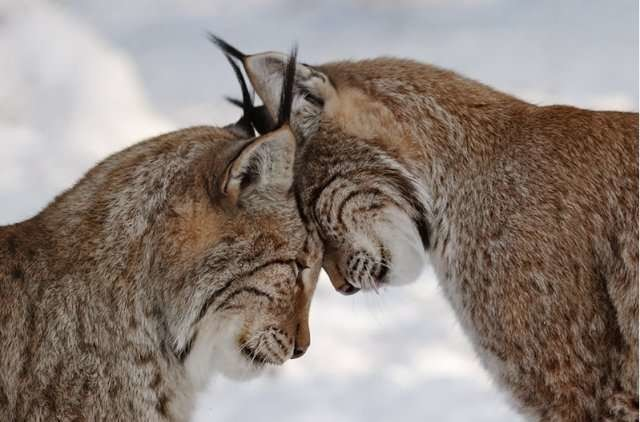 17.  животные, природа, рысь