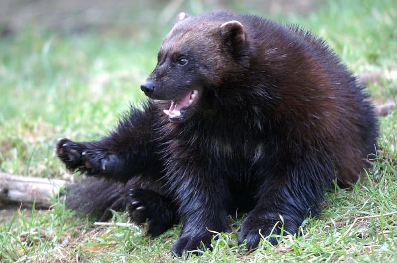 Настоящий хозяин леса, которого даже медведи обходят стороной
