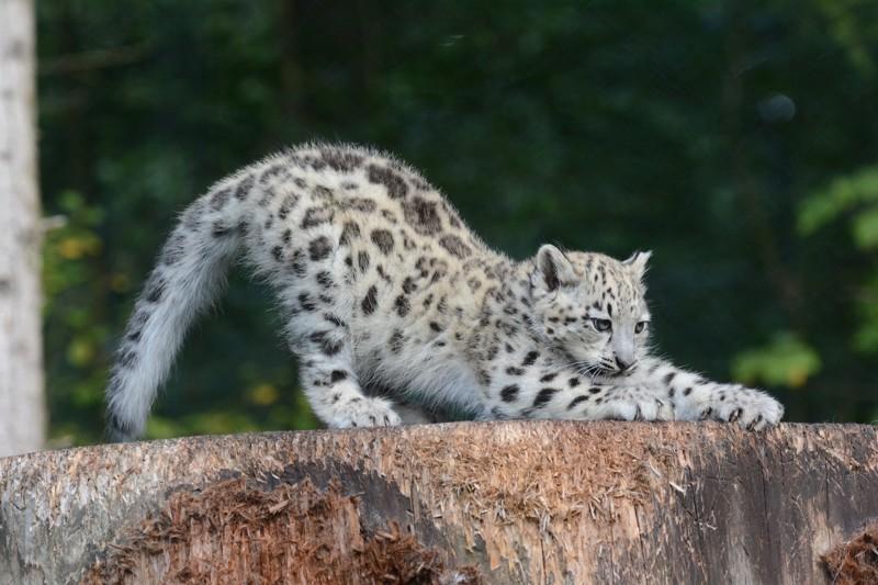 Невероятные очарование снежных барсов животные, зверюшки, ирбис, коты, снежный барс, факты