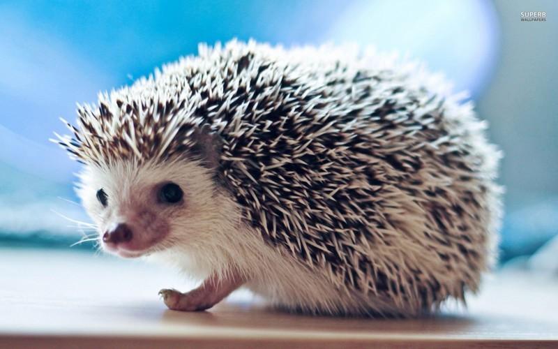 10 интересных фактов о ежах животные, интересное, факты, ёжики