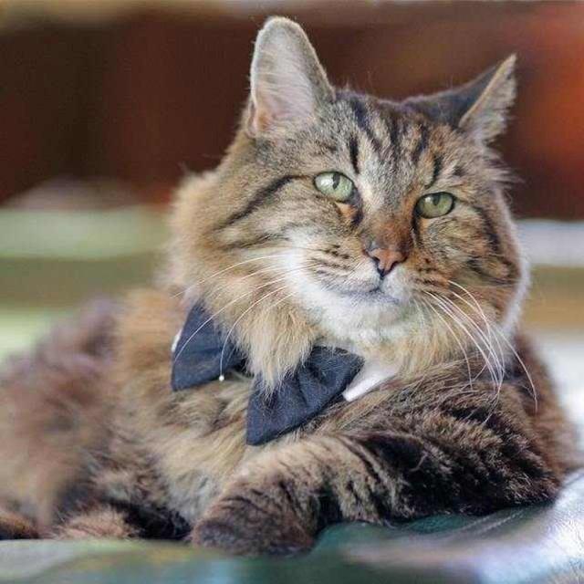 8. Мейн-кун является старейшей кошкой в мире животные, коты, факты