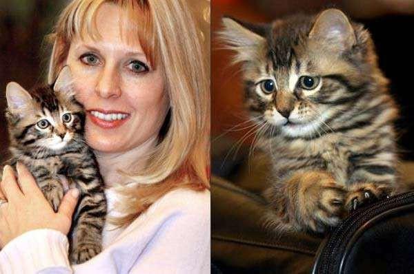 6. Мейн-куна клонировали в коммерческих целях животные, коты, факты