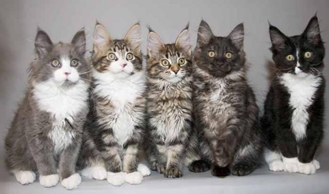 4. Не все мейн-куны коричневые животные, коты, факты