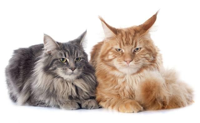 2. У них интересное происхождение животные, коты, факты