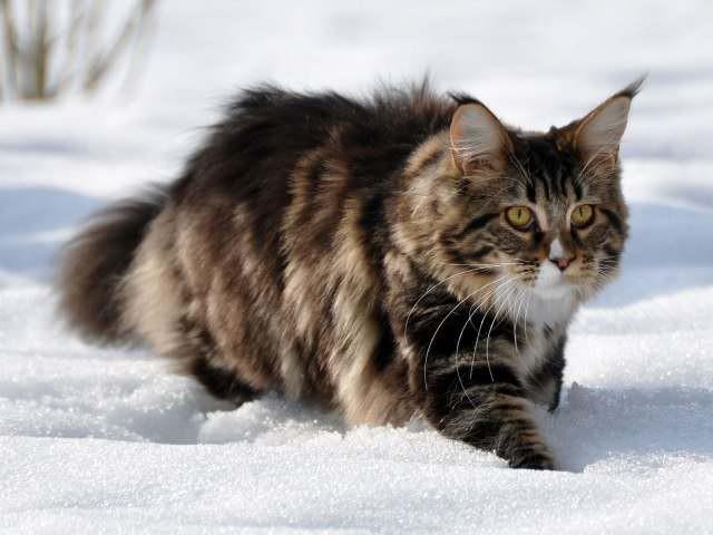 """3. Они """"одеты"""" для зимы животные, коты, факты"""