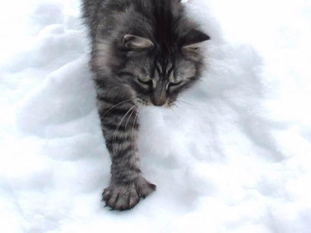 10. У некоторых мейн-кунов на лапах 6 пальцев животные, коты, факты
