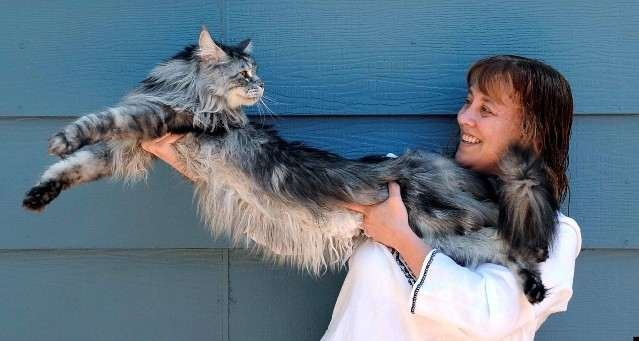 7. Мейн-кун был самой длинной кошкой в мире животные, коты, факты