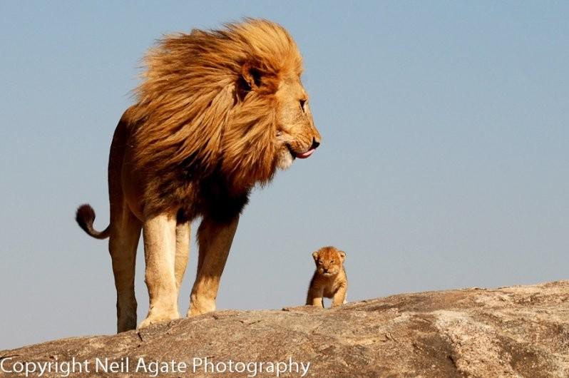 Король Лев животные, милота