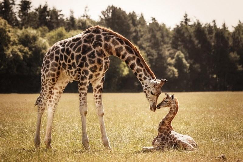 Жирафы животные, милота