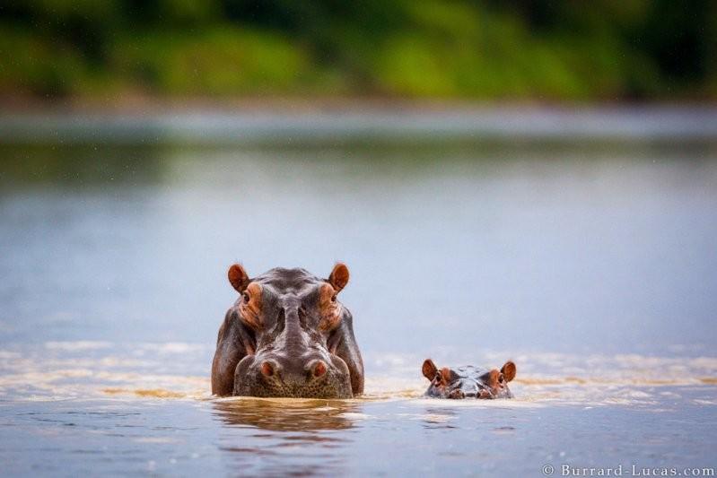 Бегемотиха с малышом животные, милота