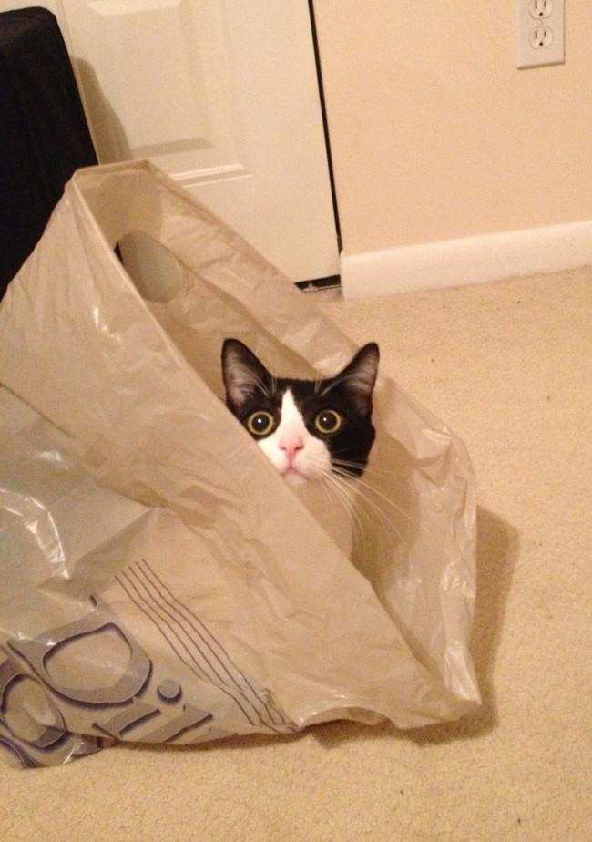 Такой становится его морда, когда он видит, что можно получить тёмный шуршащий пакет. животные, коты, пакет