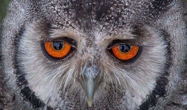 Вечно грустная сова животные, прикол, природа, сова, факты