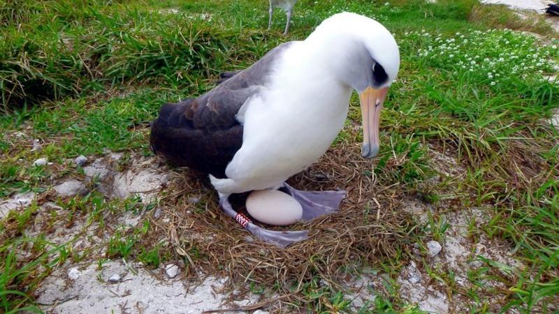 Знакомство людей с этой птицей произошло еще в 1956 году, когда специалисты USFWS отловили ее на атолле Мидуэй и окольцевали.  альбатрос, животные, яйцо