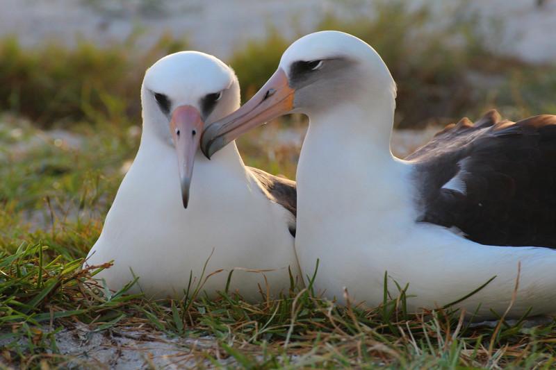 Уиздом и ее супруг ранее неоднократно становились родителями альбатрос, животные, яйцо