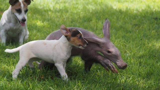 Осиротевший детеныш трубкозуба поселился в семье собак и считает себя одним из них животные, факты