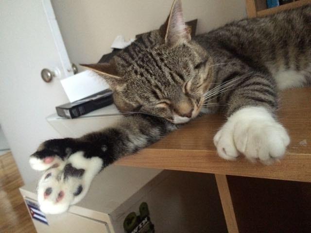 Когда Джастин работает в офисе, Фил всегда старается дать ему большую лапу помощи. большие лапы, животные, кот, приют