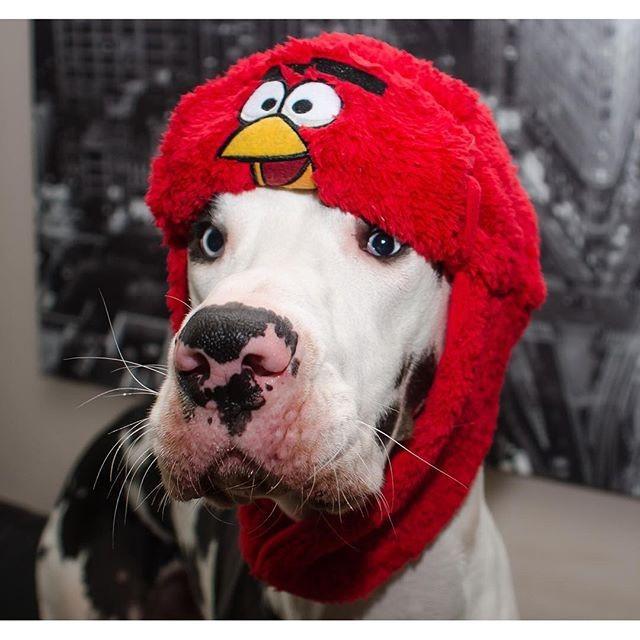 Немецкий дог Мутка: самый эмоциональный пёс в мире животные, собака, эмоции