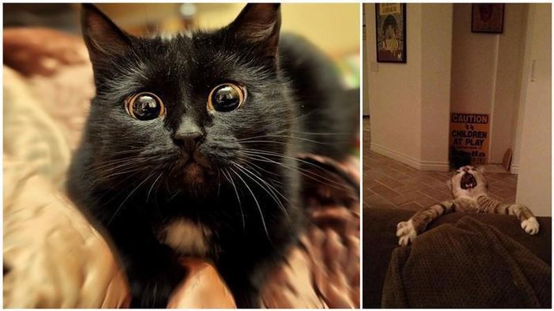 24 самых театральных кота в истории животные, коты, юмор