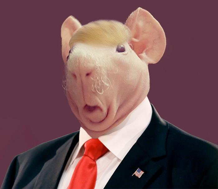 8. Избранный президент  битва, морская свинка, фотошоп
