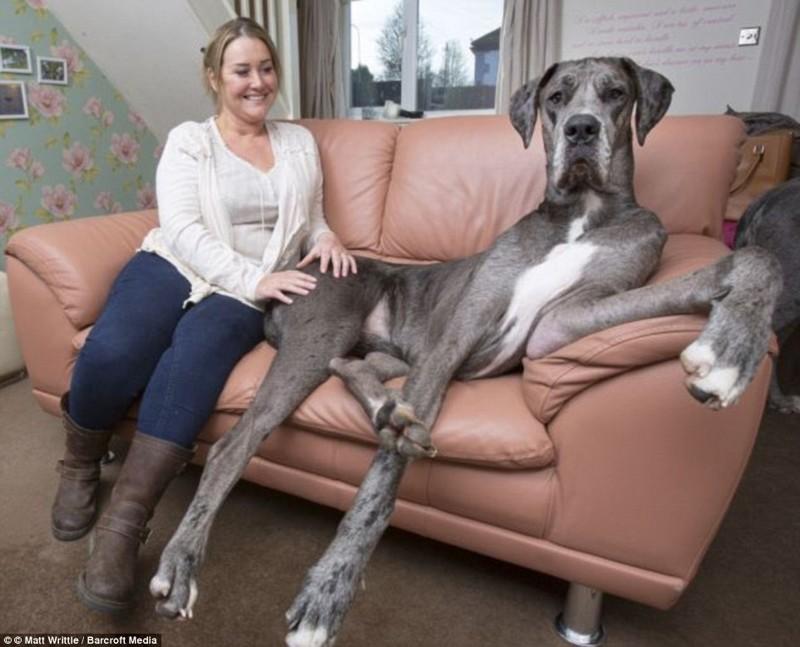 Знакомьтесь, это Фредди, самая большая собака в мире рекордсмен гинесса, самая большая собака