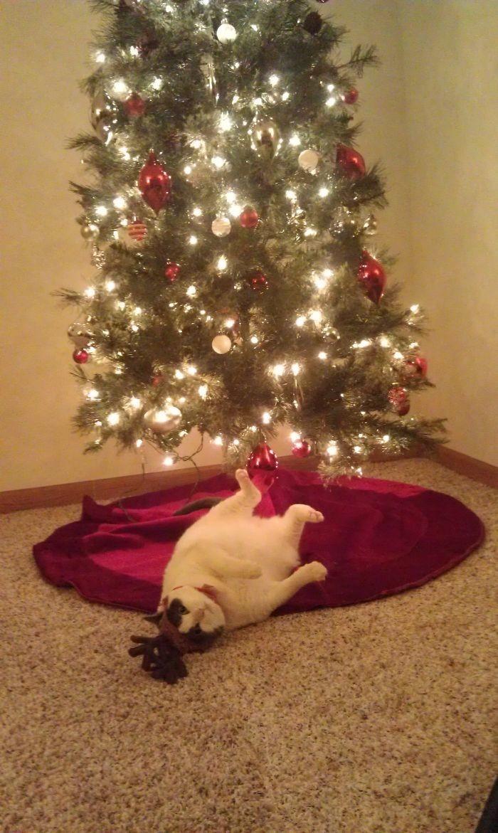 Хозяин, толстый котик - это лучше, чем елка! животные, мелкие пакости, смешно, фото