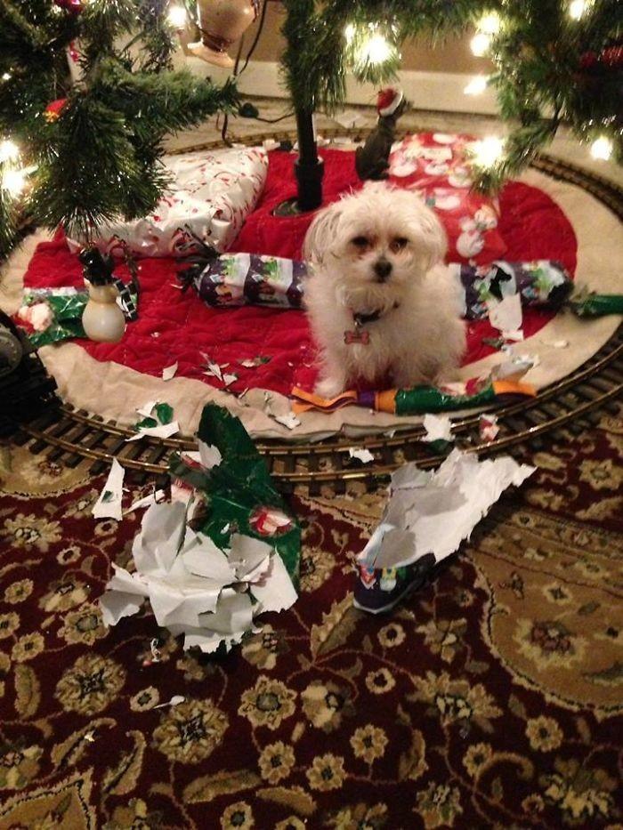 Сюрприз пропал: пес распаковал подарки еще до праздника животные, мелкие пакости, смешно, фото