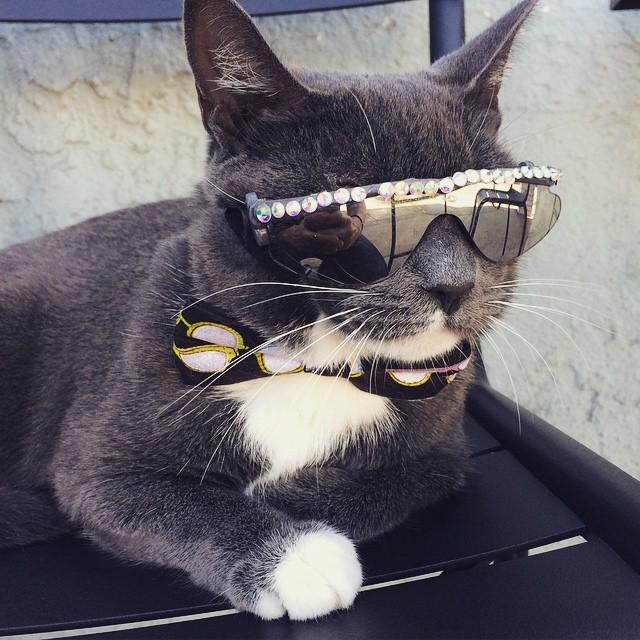 Эта кошка носит темные очки по особенной причине животные, кот, очки