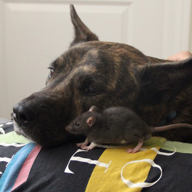 Трогательная дружба между овчаркой и крысой не оставит вас равнодушными животные, прикол