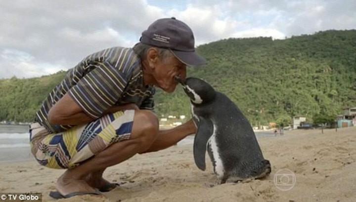 Пингвин ежегодно проплывает 5000 километров, чтобы встретиться со спасшим его человеком животные, прикол